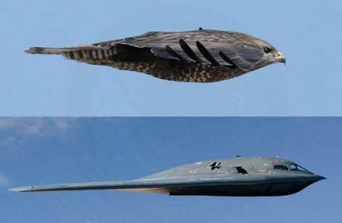 ↑ This Is Nature's B-2 Bomber